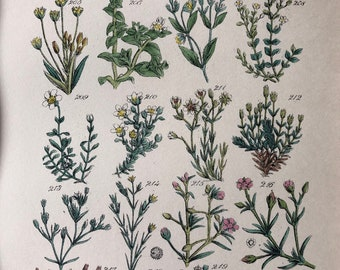1914 Original Antique Hand-Coloured Engraving - British Wild Flowers - Mounted and Matted - Sea-Wort - Sand-Wort - Available Framed