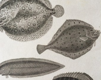 1819 Original Antique Engraving - Flounder and Chaetodon Fishes - Fish - Ichthyology - Marine Decor - Available Matted and Framed