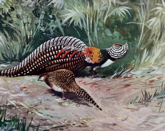 1930s The Amherst Pheasant in Display Original Vintage Print - Wildlife Decor - Bird Art - Mounted and Matted - Available Framed