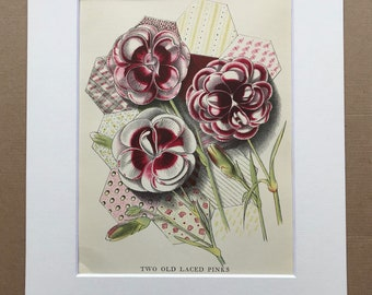 1939 Two Old Laced Pinks Original Vintage Print - Mounted and Matted - Botanical Illustration - Flower Art - Retro Decor - Available Framed