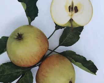 1948 Miller's Seedling Apple Original Vintage Fruit Print - Country Kitchen Decor - Botanical Art - Mounted and Matted - Available Framed