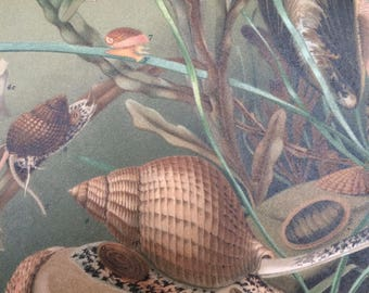 1904 Original Antique Lithograph - Mollusca - Mussel, Dog Whelk, Sea-Lemon - Shellfish - Marine Wildlife Decor - Victorian Wall Decor
