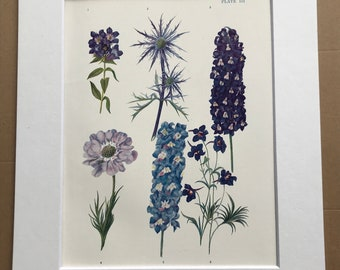 1924 Original Vintage Botanical Print - Gentiana, Scabious - Flower - Garden - Horticulture - Mounted and Matted - Available Framed