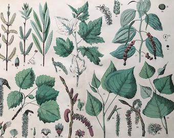 1880 Large Original Antique Botanical Lithograph - Botanical Print - Botany - Plants - Botanical Art - Tree - Nut - Willow - Poplar - Aspen