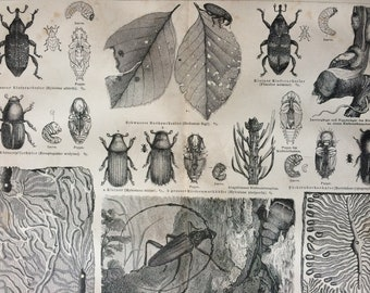 1875 Forest Insects Large Original Antique print - Available Mounted and Matted - Beetle - Entomology - Victorian Decor