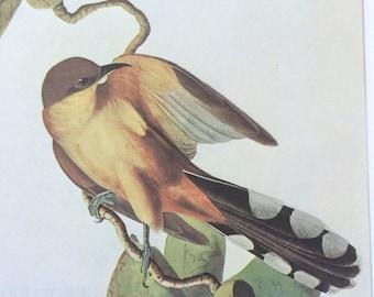 Mangrove cuckoo Original Vintage 1966 Audubon Print, Matted and Available Framed 14 x 11 inches, Bird Decor, Ornithology