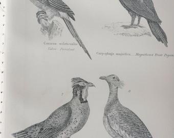 1891 Birds - Parakeet, Fruit Pigeon, Pheasant, Bustard Original Antique Steel Engraving - Encyclopaedia Illustration - Ornithology