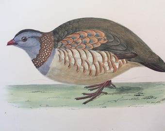 1903 Barbary Partridge Original Antique Matted Hand-Coloured Engraving - Ornithology - Available Framed - Wildlife - Decorative Art