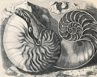 1863 Chambered Nautilus Original Antique Print - Sea Shell - Marine Decor - Mounted and Matted - Available Framed