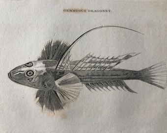 1812 Gemmeous Dragonet Original Antique Engraving - Ichthyology - Fish Art - Fishing Cabin Decor - Available Framed