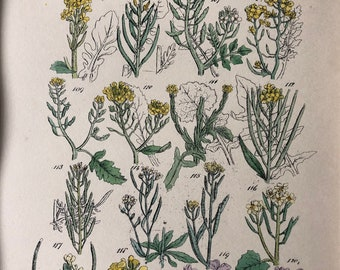 1914 Original Antique Hand-Coloured Engraving - British Wild Flowers - Mounted and Matted - Cress - Mustard - Wallflower - Available Framed