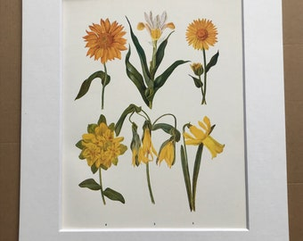 1924 Original Vintage Botanical Print - Gaillardia, Iris, Euphorbia - Flower - Garden - Horticulture - Mounted and Matted - Available Framed