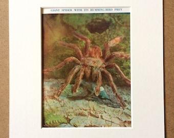 1940s Spider eating Hummingbird Original Vintage Print - Mounted and Matted - Arachnida - Gruesome Print - Unusual Wall Decor