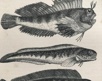 1863 Eyed Blenny, Viviparous Blenny, Sea Wolf Original Antique Print - Fish - Ocean Wildlife - Mounted and Matted - Available Framed