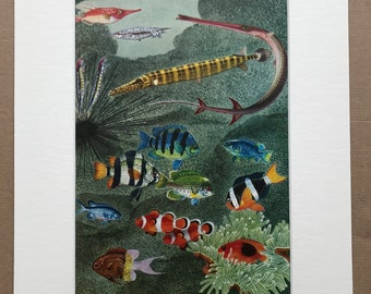 1968 Original Vintage Print - Mounted and Matted - Longspine Snipefish - Smooth Razorfish - Red Cornetfish - Fish - Available Framed