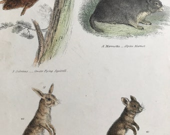 1862 Greater Flying Squirrel, Alpine Marmot, Cape Jerboa and Egyptian Jerboa Original Antique Hand Coloured Engraving - Wildlife