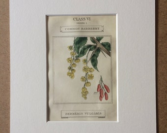1816 Original Antique Botanical Hand-Coloured Engraving - Common Barberry - Mounted and Matted - Decorative Wall Art - Botany - Framed