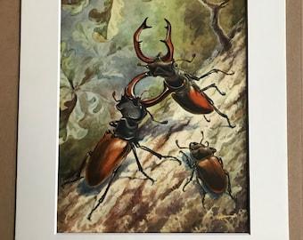 1968 Stag Beetle Original Vintage Print - Entomology - Beetle - Bug - Mounted and Matted - Available Framed