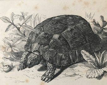 1863 Common Land Tortoise Original Antique Print - Reptile - Natural History - Mounted and Matted - Available Framed