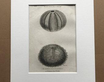 1809 Echinus Esculentus or Common Sea Urchin Original Antique Engraving - Marine Wildlife - Ocean Decor - Available Matted and Framed