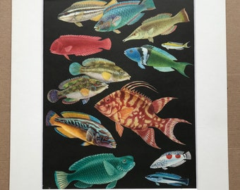 1968 Original Vintage Print - Mounted and Matted - Princess Parrotfish, Bird Wrasse, Cuckoo Wrasse, Blue Wrasse - Fish - Available Framed
