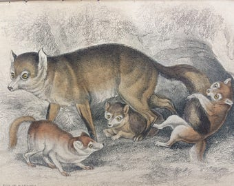 1860 Coal Fox of Bavaria - Original Antique Hand-Coloured Engraving - Matted and Available Framed - Dog - Canine Wall Decor