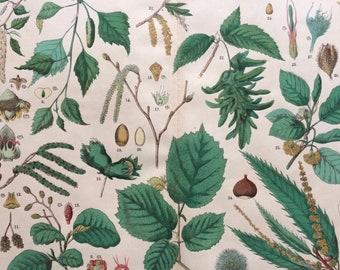 1890 Large Original Antique Botanical Lithograph - Botanical Print - Botany - Plants - Botanical Art - Tree - Nut - Beech - Hazel - Chestnut