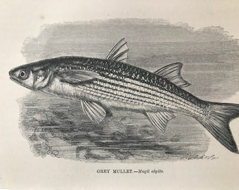 1863 Grey Mullet Original Antique Print - Fish - Ocean Wildlife - Marine Decor - Mounted and Matted - Available Framed