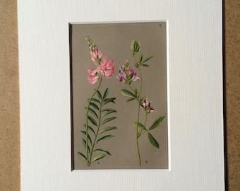 1884 Original Antique Botanical Illustration - Vintage Flower Print - Wall Art - Lucern Trefoil - Mounted and Matted - Available Framed