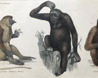 1862 Proboscis Monkey, Gorilla and Ourang-Outan Original Antique Hand Coloured Engraving - Available Mounted, Matted and Framed - Wildlife
