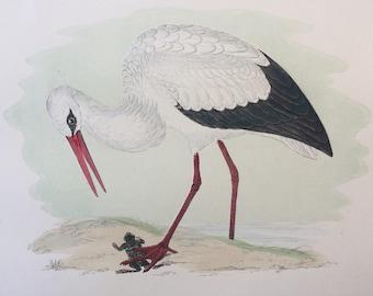 1903 White Stork Original Antique Matted Hand-Coloured Engraving - Ornithology - Available Framed - Wildlife - Decorative Art