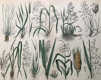 1880 Large Original Antique Botanical Lithograph - Botanical Print - Botany - Plants - Botanical Art - Sweetcorn - Maize - Grass