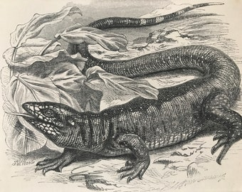 1863 Teguexin Original Antique Print - Lizard - Reptile - Wildlife - Mounted and Matted - Available Framed