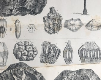 1858 Original Antique Engraving - Fossil Fruit of Podocarya from the Inferior Oolite near Charmouth Dorset - Palaeontology - Fossil