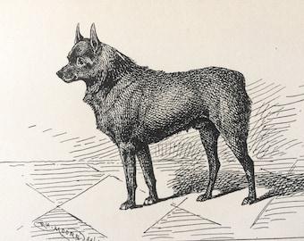 1900 Schipperche Original Vintage Dog Illustration - Animal Art - Dog Drawing - Decorative Wall Art - Framed Art - Gift Idea