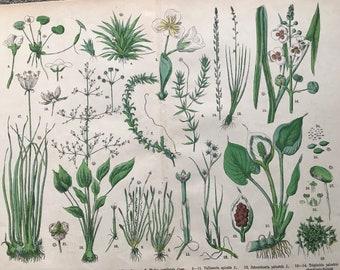 1880 Large Original Antique Botanical Lithograph - Botanical Print - Botany - Plants - Botanical Art - Wall Decor - Grass - Sedge