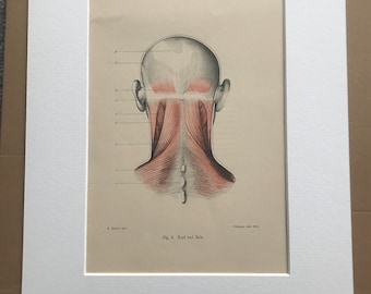 1890 Original Antique Anatomical Print - Head and Neck Muscles - Anatomy - Medical Decor - Mounted and Matted - Available Framed