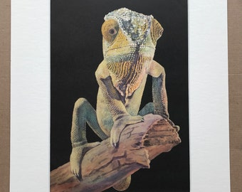 1968 Chameleon Original Vintage Print - Reptile Art - Mounted and Matted - Available Framed