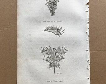 1809 Doris Papillosa and Doris Radiata Original Antique Engraving - Marine Decor - Mollusc