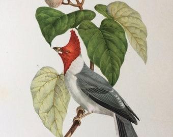 1960 Large Original Vintage Bird Print, 11.5 x 17 inches, Fringille Pazoare, Vintage Decor, Ornithology, Tropical Colourful Wall Art