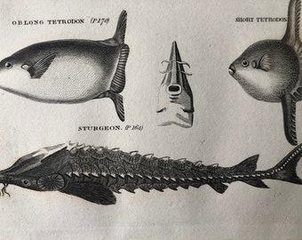 1812 Oblong Tetrodon, Short Tetrodon & Sturgeon Original Antique Engraving - Ichthyology - Fish Art - Fishing Cabin Decor - Available Framed