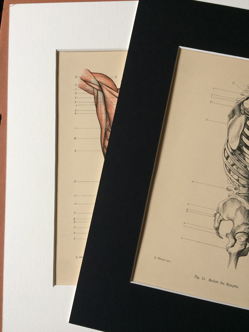 Medical Decor Mounted and Matted Science 1949 Original Vintage Anatomical Print Available Framed Male and Female Pelves Anatomy