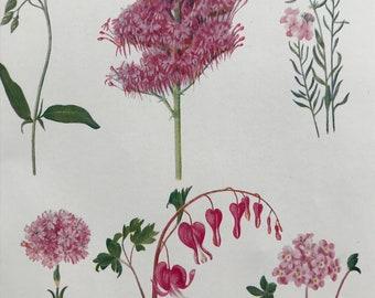 1924 Original Vintage Botanical Print - Valerian, Campion - Flower - Garden - Horticulture - Mounted and Matted - Available Framed