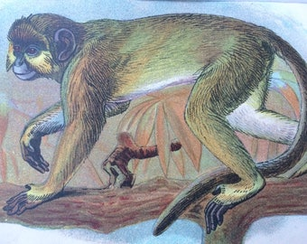 1896 The Talapoin Original Antique Chromolithograph - Monkey - Mammal - Zoology - Natural History - Wildlife Decor - Available Framed