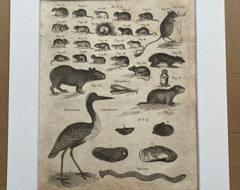 1806 Rodents, Storks and Clams Original Antique Engraving - Zoology - Natural History - Mounted and Matted - Available Framed