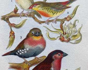 1956 Golden-breasted Waxbill and Spotted Firefinch Original Vintage Print - Ornithology - Bird Art - Mounted and Matted - Available Framed