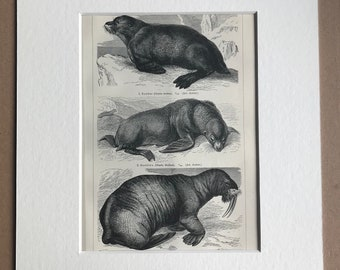 1897 Seal, Sealion and Walrus Original Antique Print - Mounted and Matted - Mammal - Marine Decor - Available Framed