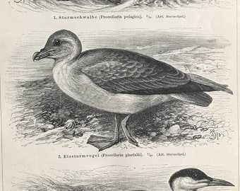 1897 Storm Petrel, Northern Fulmar, Caspian Tern Original Antique Print - Mounted and Matted - Ornithology - Bird Art - Available Framed