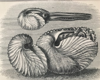 1863 Argonaut or Paper Nautilus Original Antique Print - Marine Decor - Mounted and Matted - Available Framed