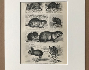 1897 Rodents Original Antique Print - Mounted and Matted - Mouse, Rat, Lemming, Hamster, Egyptian Jerboa - Wildlife Decor - Available Framed